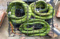 Cách chế biến bột rắn lục chữa thoái hóa cột sống