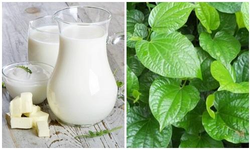 Bài thuốc dân gian chữa thoát vị đĩa đệm từ lá lốt và sữa tươi